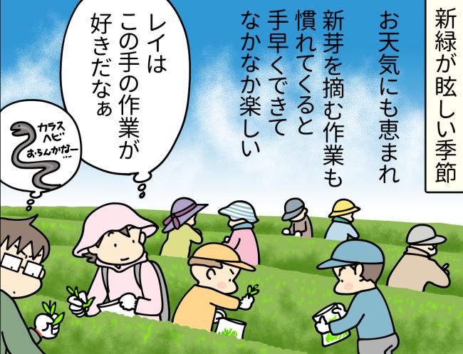 世知原少年自然の家が管理する茶畑で新芽を摘む大原由軌子一家